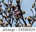 青空に大きい白色の花を咲かすモクレンの蕾 29380324