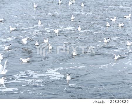 花見川河口に来ているもう直ぐ帰るユリカモメ 29380326