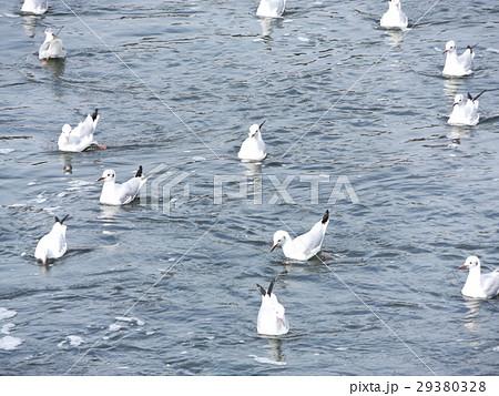 花見川河口に来ているもう直ぐ帰るユリカモメ 29380328