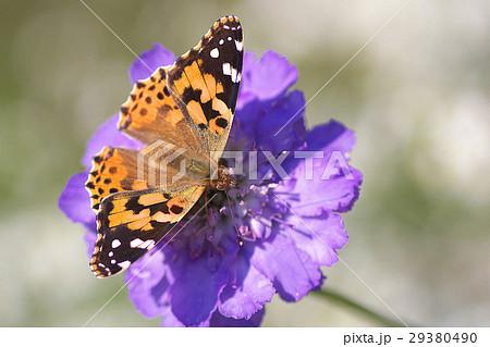 花と蝶々 29380490