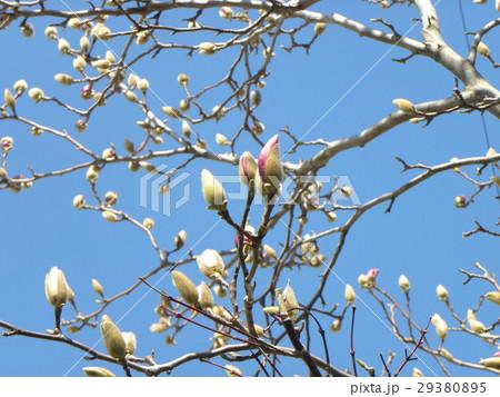 青空に良く会うモクレンの大きな花の蕾 29380895