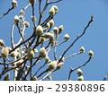 大きい白い花を咲かすハクモクレンの蕾 29380896