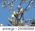 青空に良く会うモクレンの大きな花の蕾 29380898