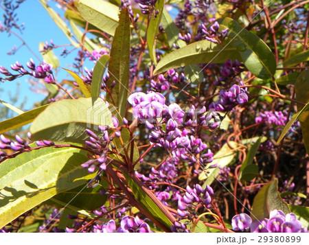 この紫色の花のつる性植物はハーデンベルギア 29380899