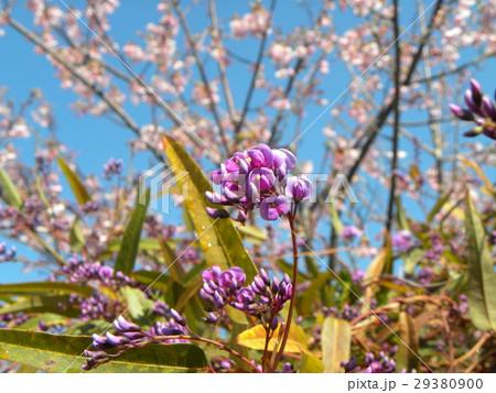 この紫色の花のつる性植物はハーデンベルギア 29380900