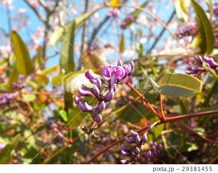 この紫色の花のつる性植物はハーデンベルギア 29381455