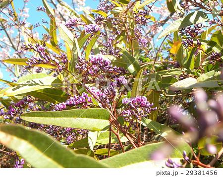 この紫色の花のつる性植物はハーデンベルギア 29381456
