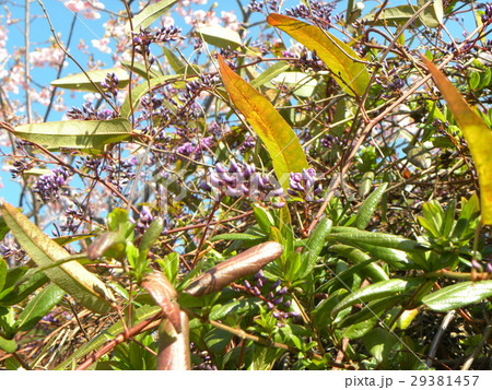 この紫色の花のつる性植物はハーデンベルギア 29381457