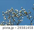 大きい白い花を咲かすハクモクレンの蕾 29381458