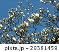 大きい白い花を咲かすハクモクレンの蕾 29381459