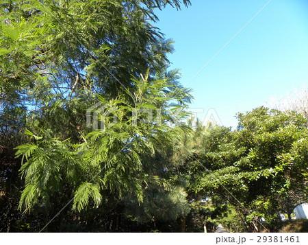 若葉の綺麗なモリシマアカシア 29381461