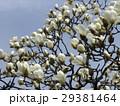 大きい白い花が咲いたハクモクレン 29381464