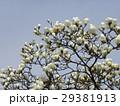 大きい白い花が咲いたハクモクレン 29381913