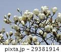 大きい白い花が咲いたハクモクレン 29381914