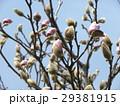 青空に良く会うモクレンの大きな花の蕾 29381915