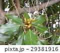検見川浜の県道側に沢山植わっているシロダモの新芽 29381916