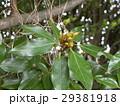 検見川浜の県道側に沢山植わっているシロダモの新芽 29381918