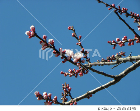 ちょと遅咲きの白色のウメの花 29383149