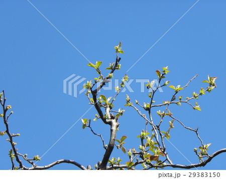 青空に元気に育ち始めたカリンの新葉 29383150