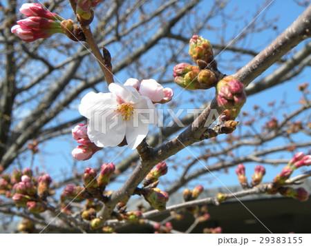 サクラ広場のサクラが咲き始めました 29383155