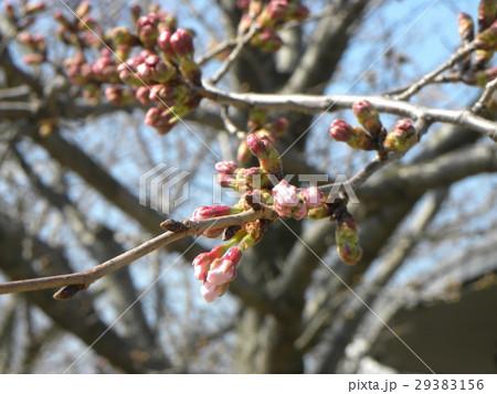 サクラ広場のサクラが咲き始めました 29383156
