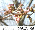 サクラ広場のもうすぐ咲くサクラの蕾 29383196