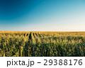 トウモロコシ コーン とうもろこしの写真 29388176