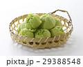 蕗の薹 蕗 山菜の写真 29388548