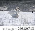 白鳥のいる風景 29389713