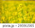 菜の花畑 29391565