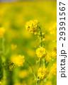 菜の花畑 29391567