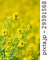 菜の花畑 29391568