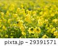 菜の花畑 29391571