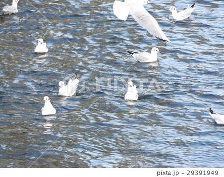 もう直ぐ帰る花見川河口のユリカモメ 29391949