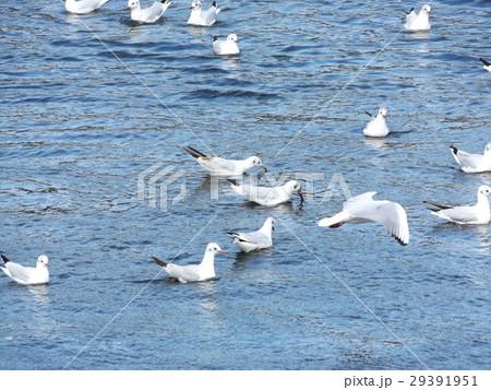 もう直ぐ帰る花見川河口のユリカモメ 29391951