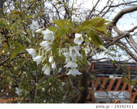 葉っぱと一緒に楽しめるヤマザクラの花 29392411
