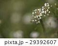 草花 花 ナズナの写真 29392607
