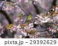 桜とメジロ 29392629