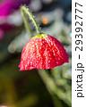 花 クローズアップ お花の写真 29392777