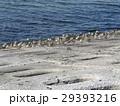 検見川浜の海岸で日向ぼっこをするミユビシギ 29393216
