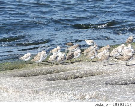 検見川浜の海岸で日向ぼっこをするミユビシギ 29393217