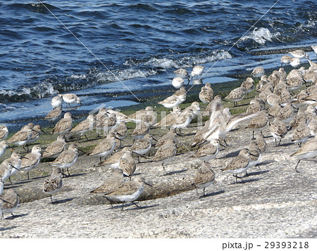 検見川浜の海岸で日向ぼっこをするミユビシギ 29393218