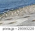 検見川浜の海岸で日向ぼっこをするミユビシギ 29393220