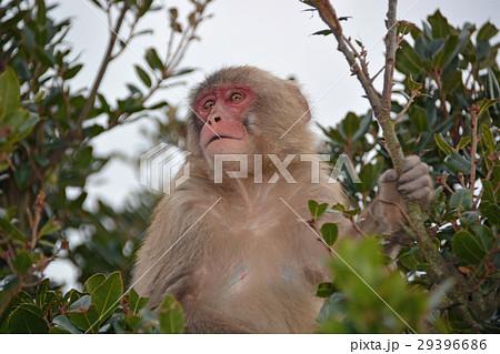 小豆島銚子渓自然動物園  遠望する猿 29396686