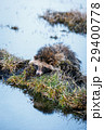 狸 たぬき タヌキの写真 29400778