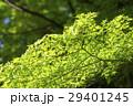 新緑のもみじ 29401245