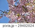 メジロ 小鳥 野鳥の写真 29402024