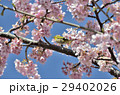 メジロ 小鳥 野鳥の写真 29402026