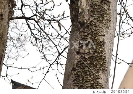 モクレンの木に生えたキノコ 29402534