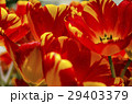 vibrant petal tulips with warm light in spring 29403379